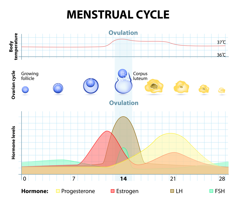 menstrual-cycle.jpg