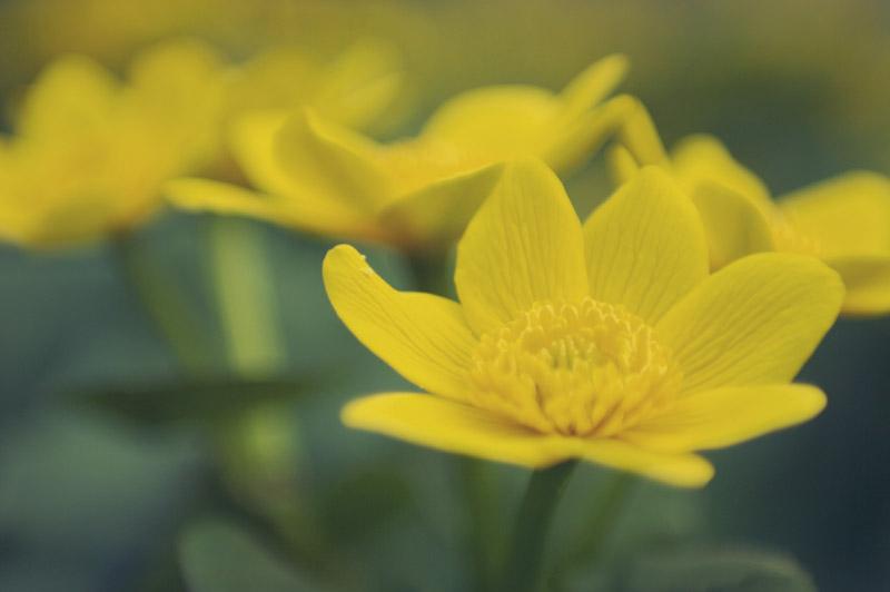 Yellow Spring Flowers in Leelanau County