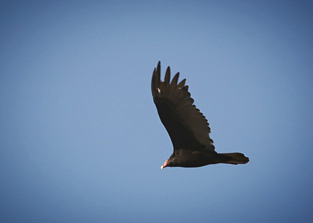 A turkey vulture doing what they usually do... gliding lazily.  This one happened to be in Chapel Hill, NC.