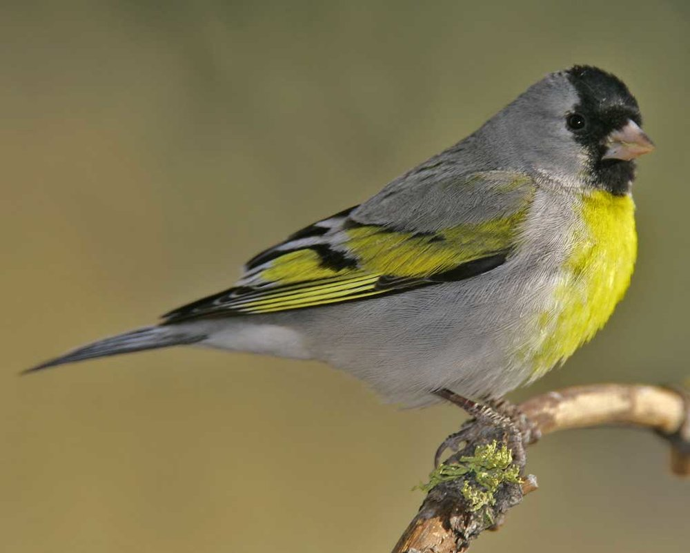 Photo credit: Brian Small, via  http://www.audubon.org/field-guide/bird/lawrences-goldfinch