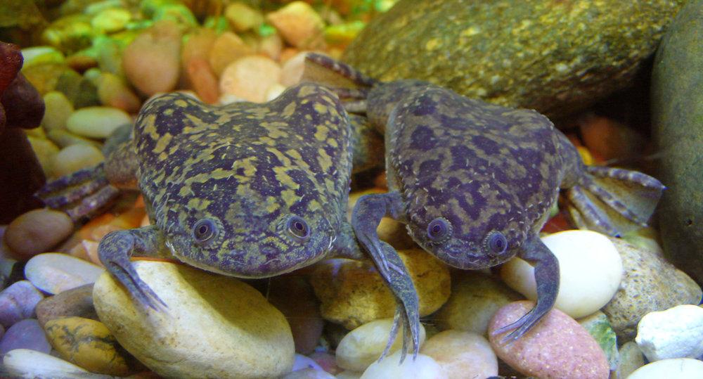 The aquatic frog  Xenopus laevis . Via  Wikipedia Commons .