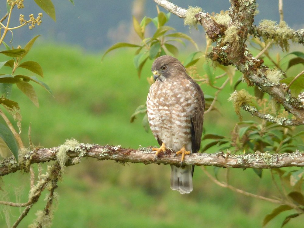 Broad-winged hawks (Buteo platypterus) are pretty common around here.  Photo credit:  Alejandro Bayer Tamayo via Wikipedia Commons .