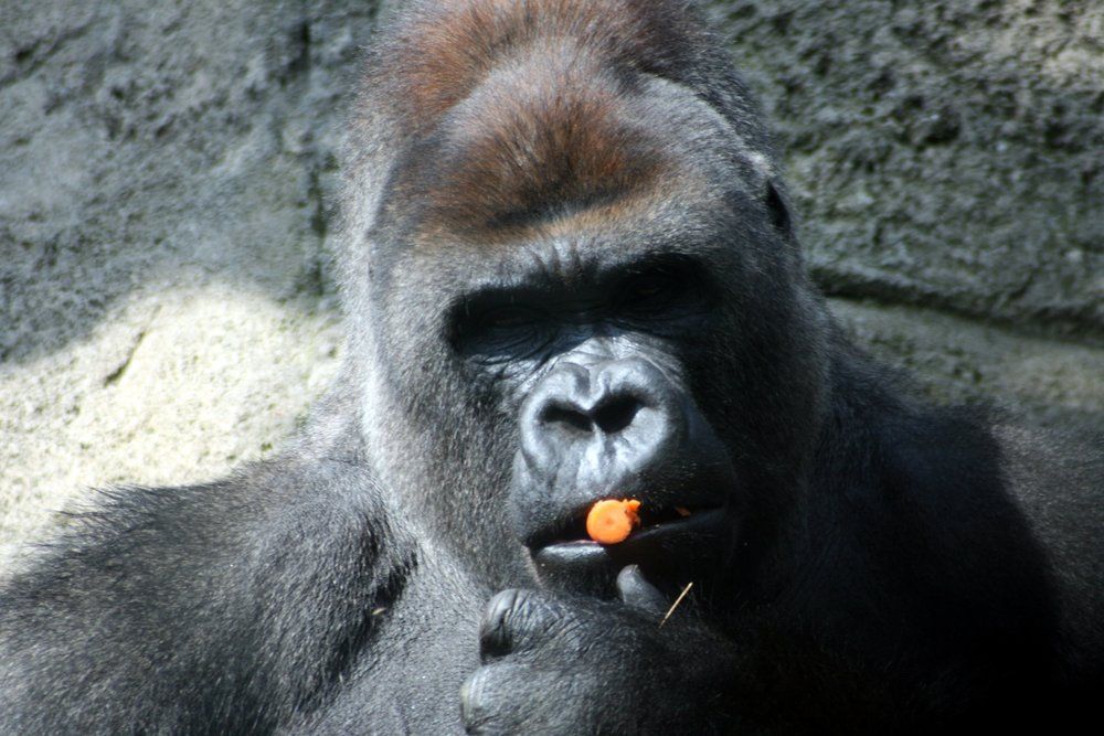 Ein Gorilla vonManuel J. Prieto (Flickr/CC)