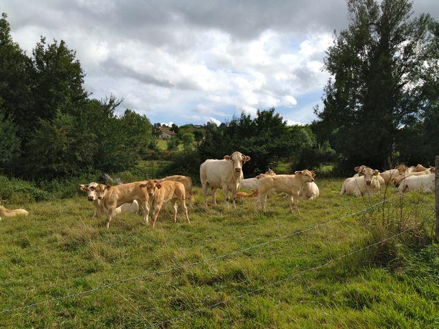 10-cows.jpg
