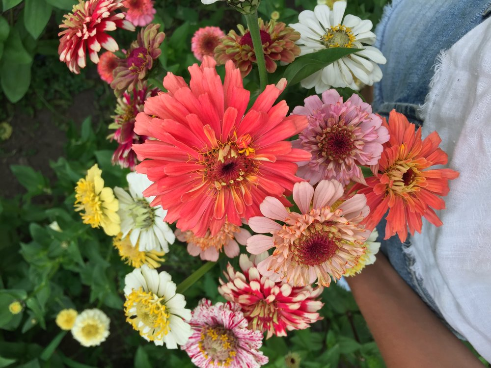 Zinnias by Siri Thorson
