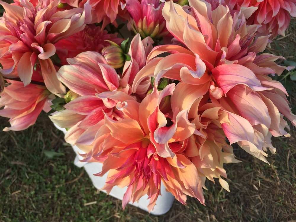 Dahlias by Siri Thorson