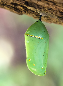 """ Monarch Butterfly Cocoon "" by  Wikipedia User Umbris  is licensed under  CC BY-SA 3.0 ."