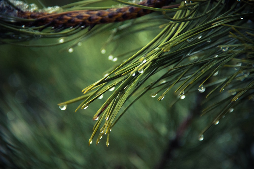 """ Pine "" by  Adku  is  public domain ."