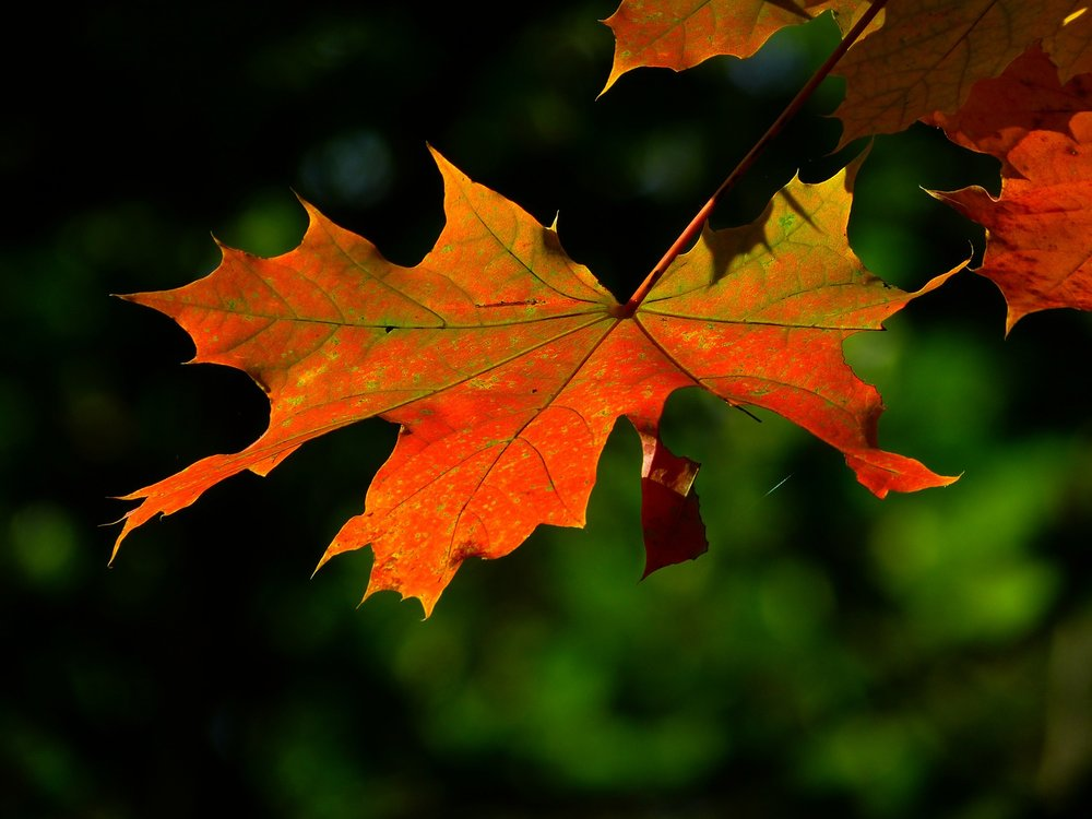 """"""" Autumn, Leaf, Colourful, Leaves """" BY  LoggaWiggler  IS  PUBLIC DOMAIN ."""