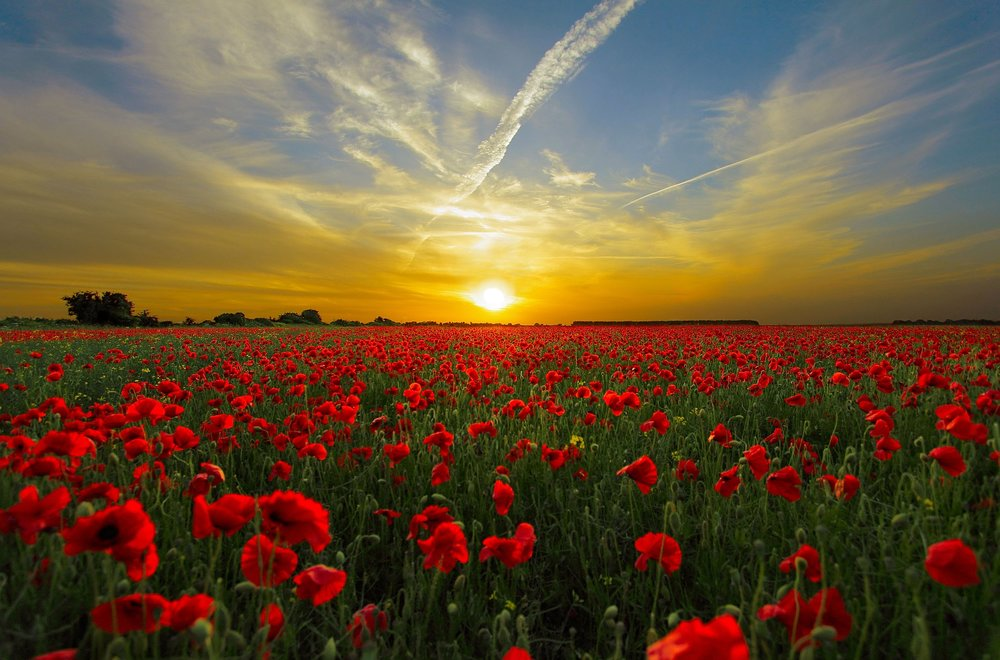 """ Sunset, field, poppy, sun, priroda "" by  Roman Grac  is  Public Domain ."