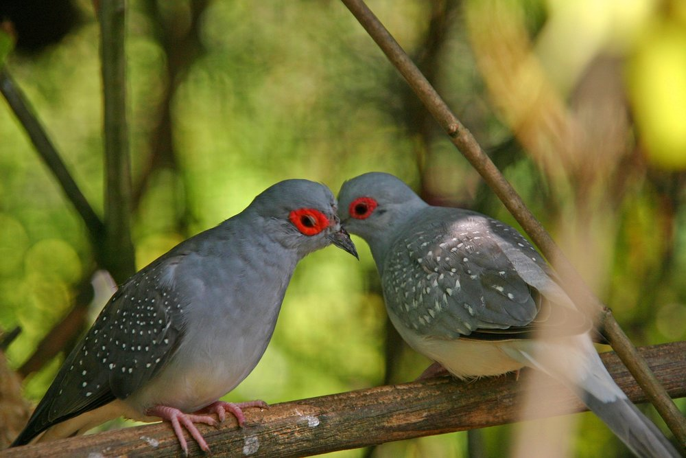 """"""" Birds, kiss, love, red, grey, close-up """" by  Gil Dekel  is  Public Domain ."""