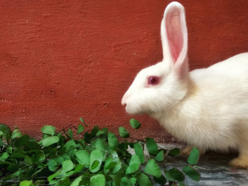 """ #rabbit #bunny #no_filter #love #leaf #green "" by  Navneet Shanu  is  Public Domain"