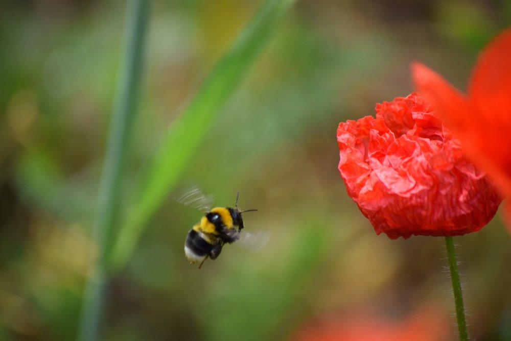 """ Poppy, spring, bee, red, nature "" by  Federico Ghedini  is  Public Domain ."