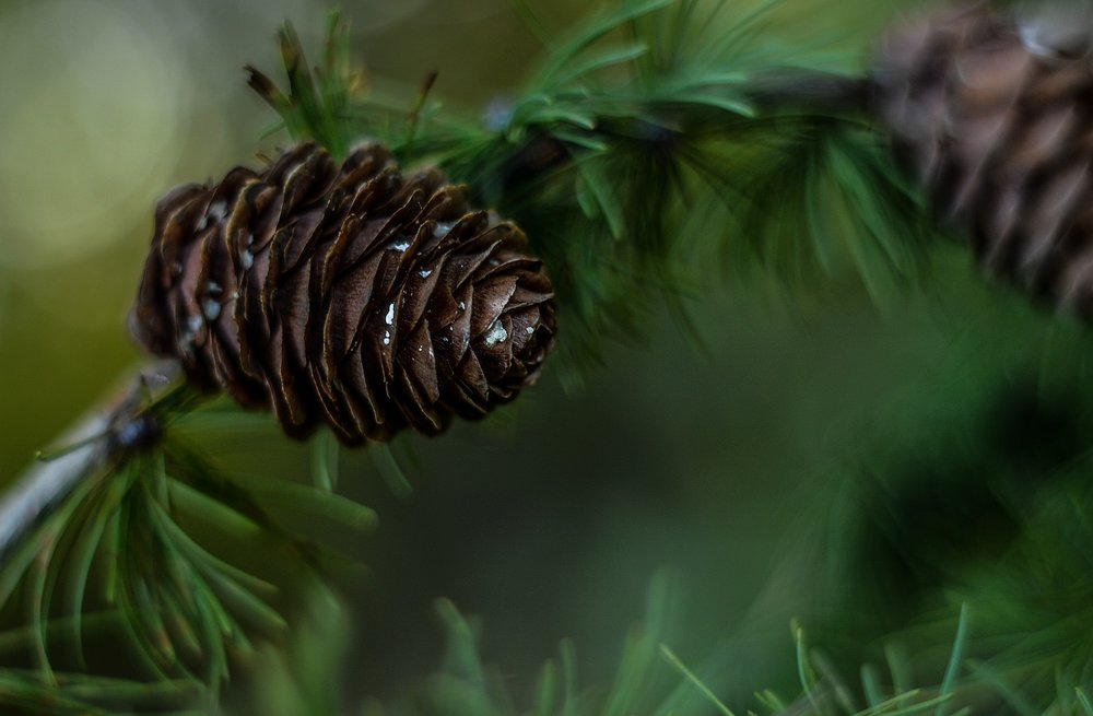 """ Pine, cone, green, tree, coniferous "" by  Agnieszka  is  Public Domain ."