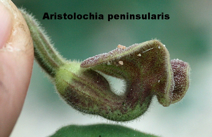 Aristolochia peninsularis 1.jpg