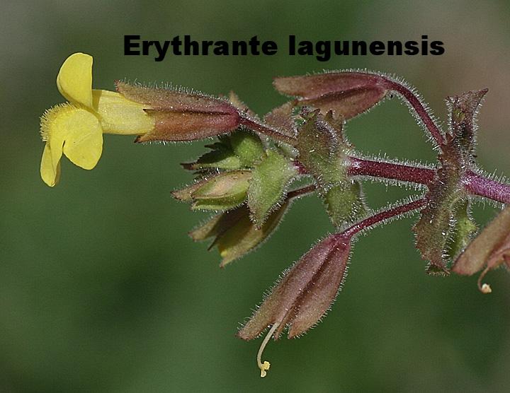 Erythrante lagunensis