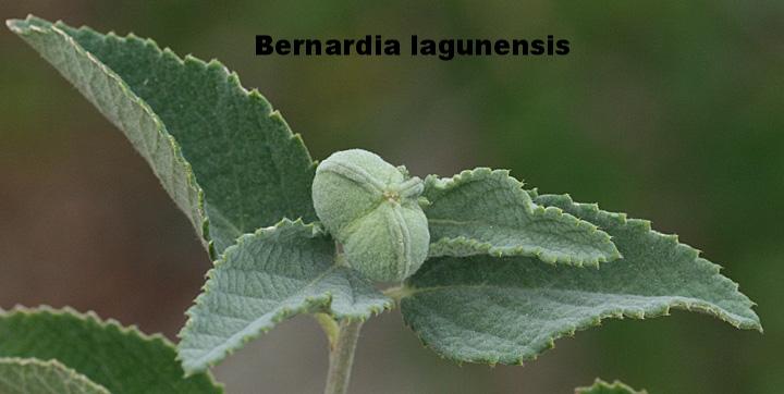 Bernardia lagunensis
