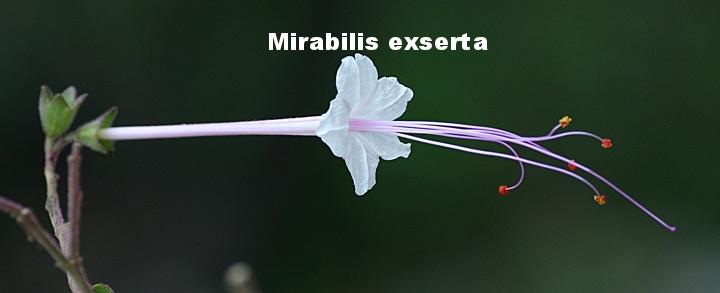 Mirabilis exserta