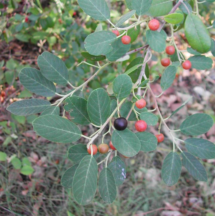 El fruto del arbusto de la Cacachila tal como se encuentra en Rancho Cacachilas.