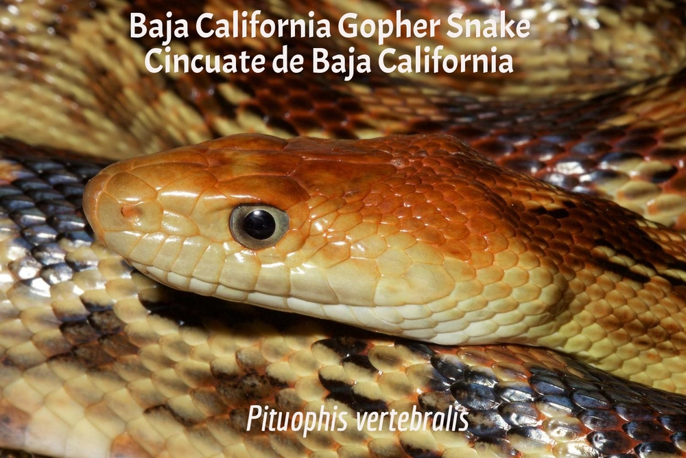 Baja California Gopher Snake / Cinuate de Baja California
