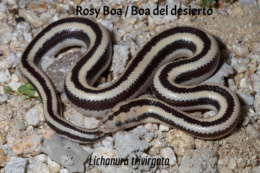 Rosy Boa / Boa del desierto