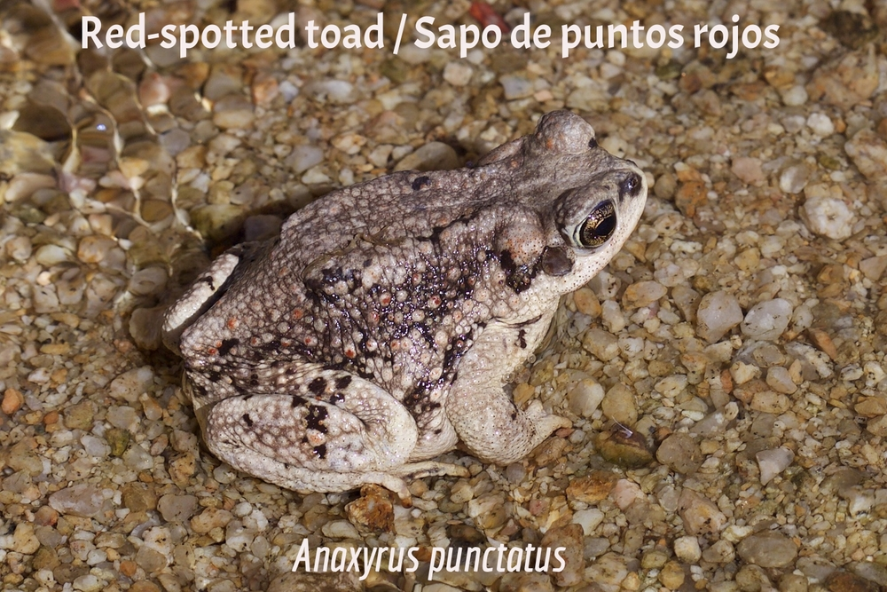 Red-Spotted Toad / Sapo de puntos rojos