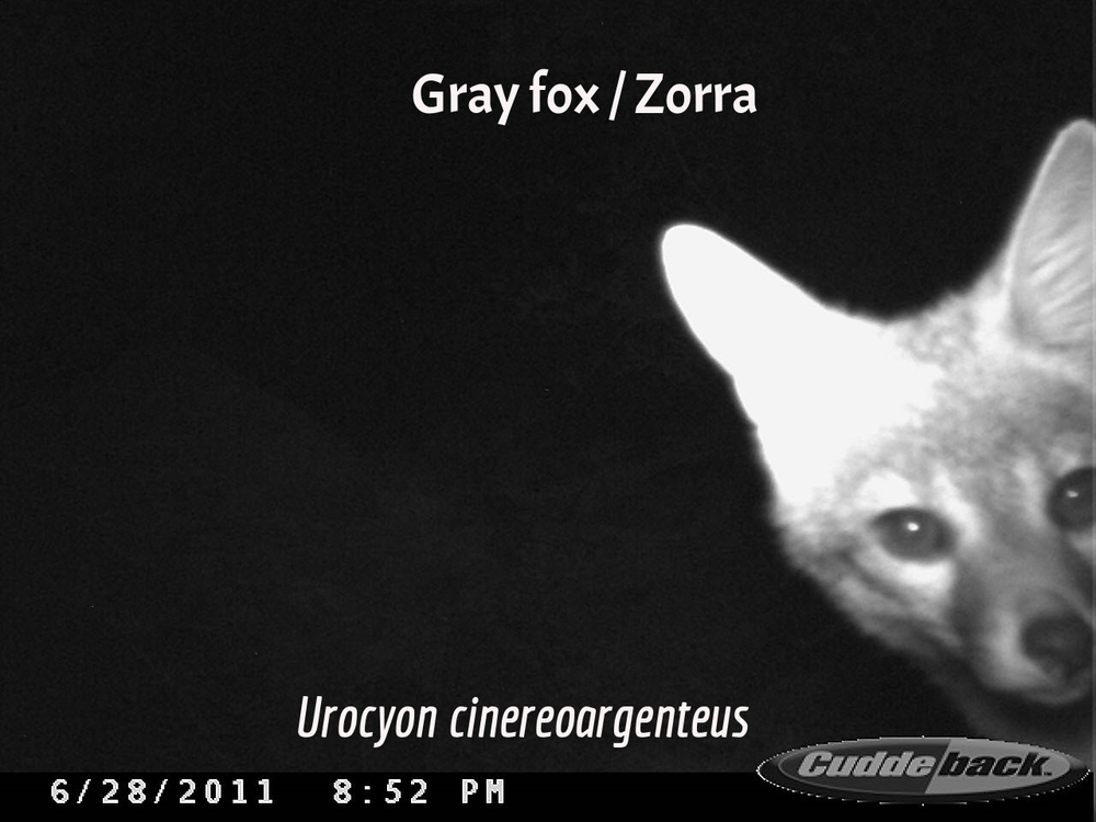 Gray Fox / Zorra