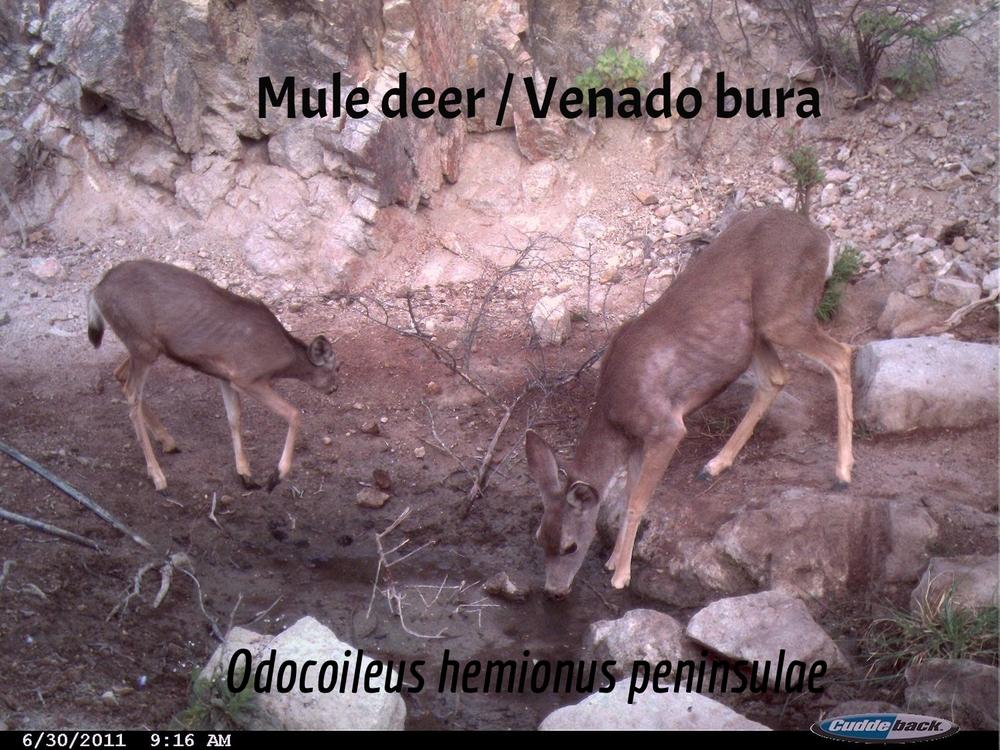 Mule Deer / Venado bura