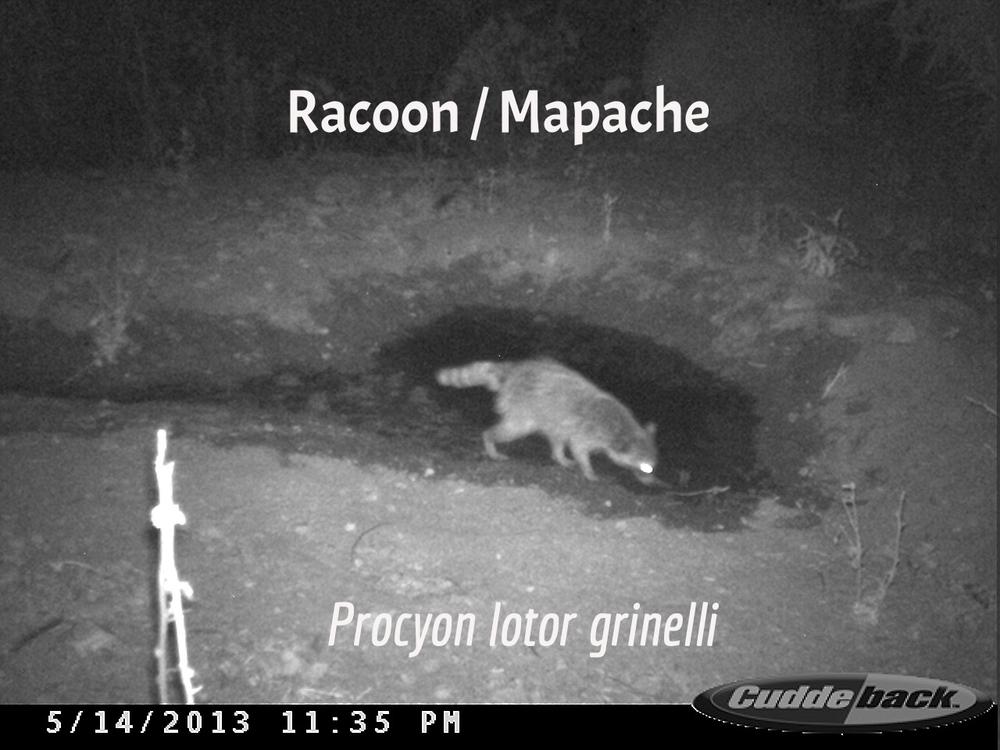 Raccoon / Mapache