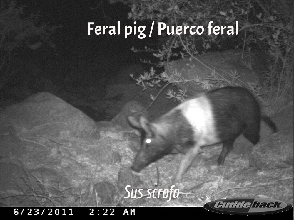 Feral Pig / Puerco feral