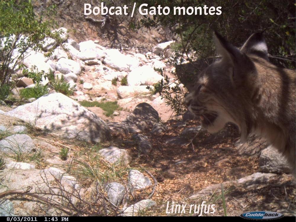 Bobcat / Gato montes