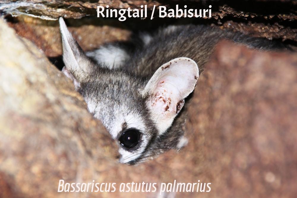 Ringtail / Babisuri