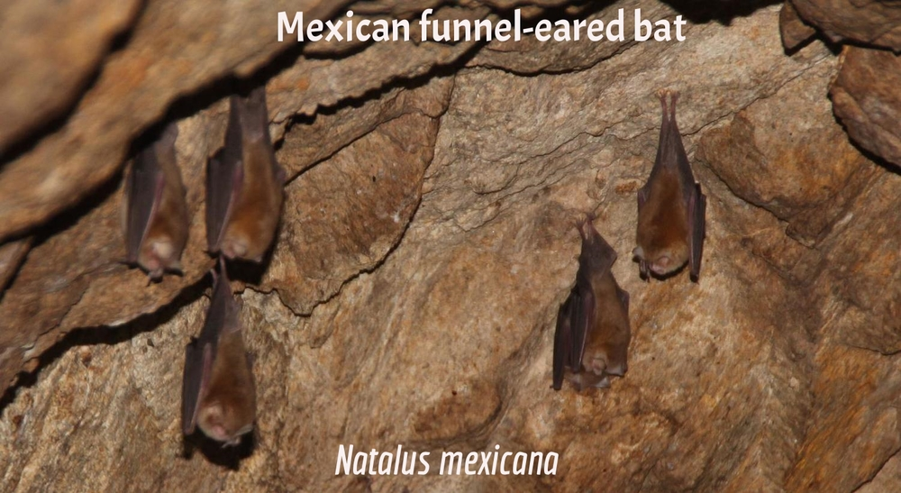 Mexican Funnel-Eared Bat