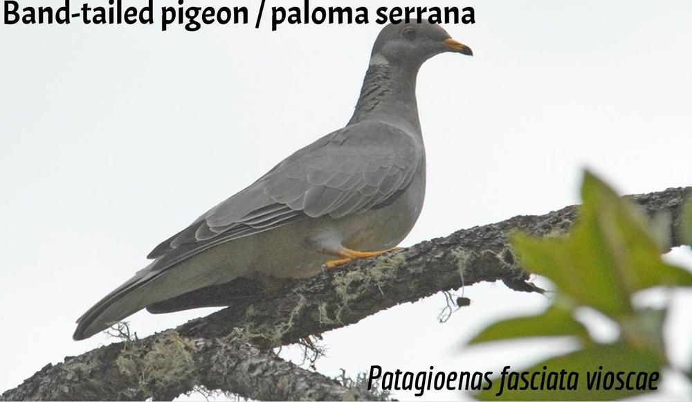 Band-Tailed Pigeon / Paloma serrana