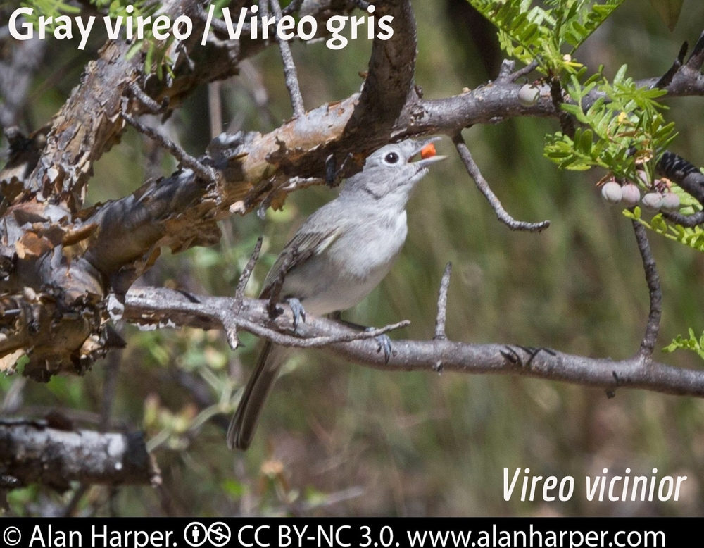 Gray Vireo / Vireo gris
