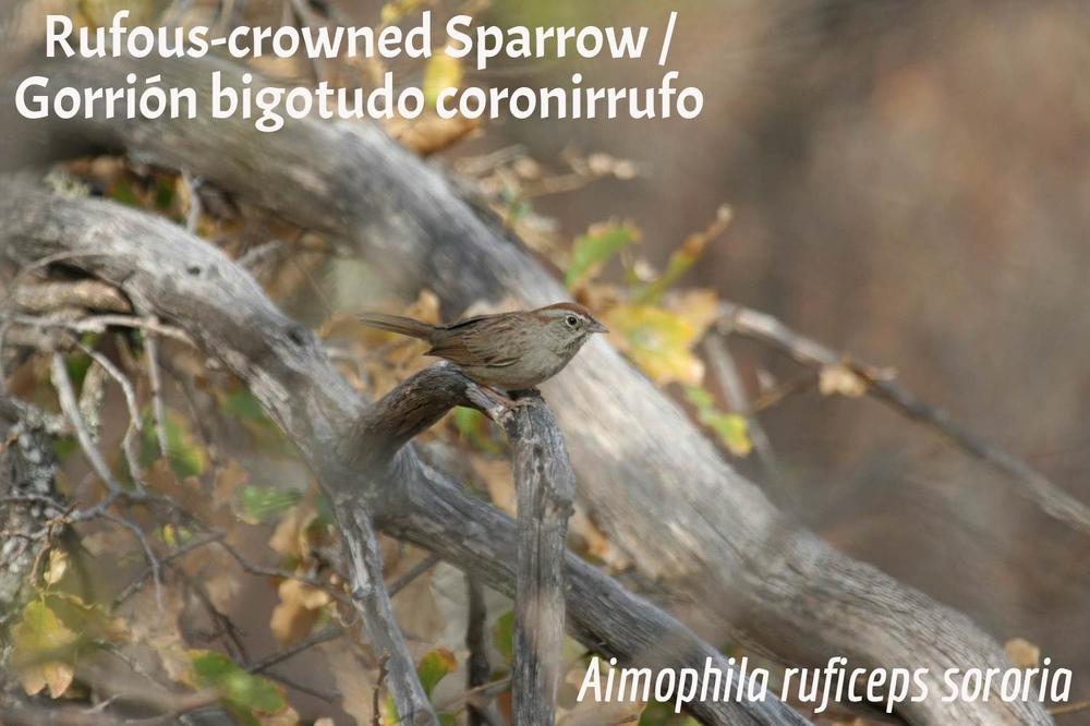 Rufous-Crowned Sparrow / Gorrión bigotudo coronirrufo