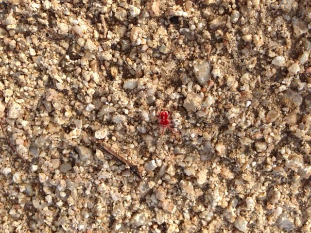 Tiny red spider on decomposed granite, BCS