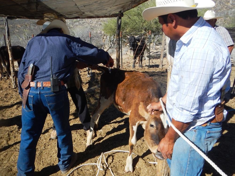vaqueros-ganaderia-rancho-cacachilas-la-paz-baja-california-sur.JPG