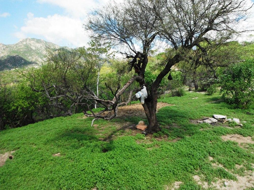 mezquite-campamento-don-victor-los-pisos-rancho-cacachilas-la-paz-mexico.JPG