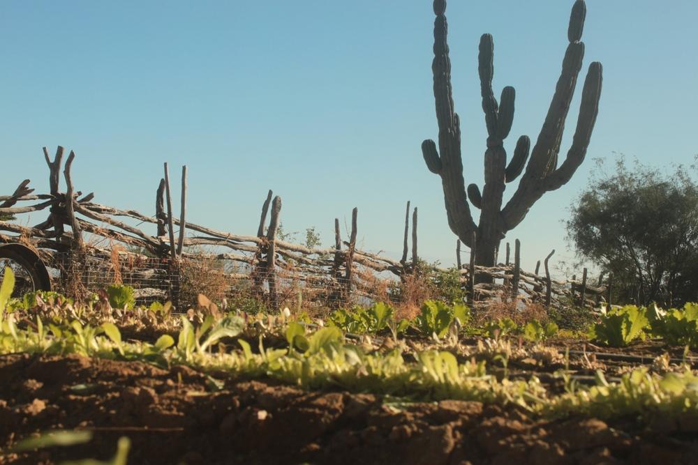 organic-garden-rancho-dos-hermanos-baja-california-sur.JPG