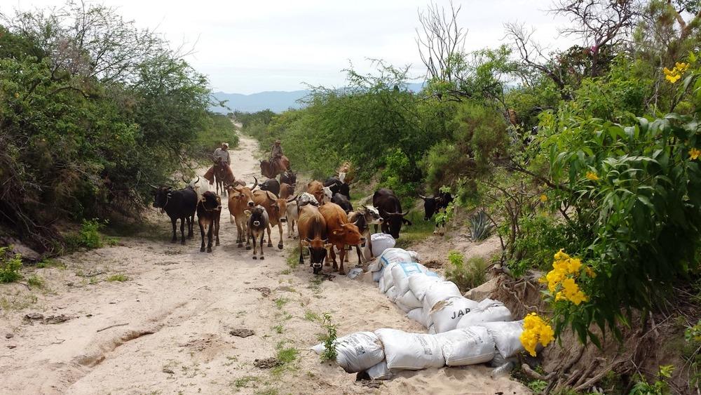 El ganado criollo y de otras razas en uno de nuestros corrales.