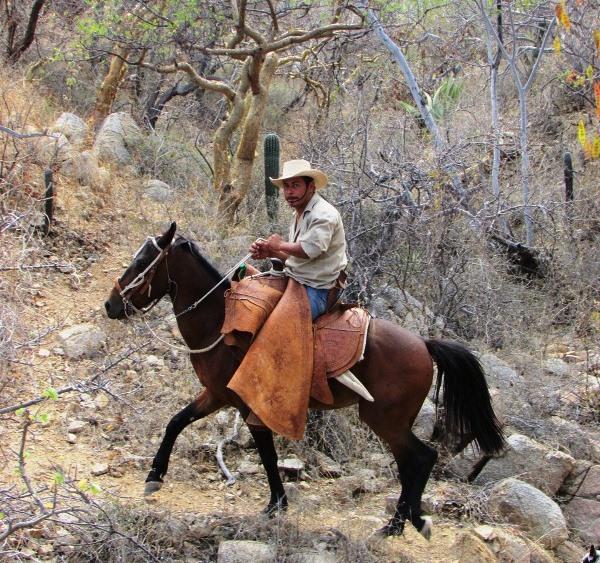 Una de nuestras mulas ayudando a realizar el trabajo de los vaqueros de Rancho Cacachilas.