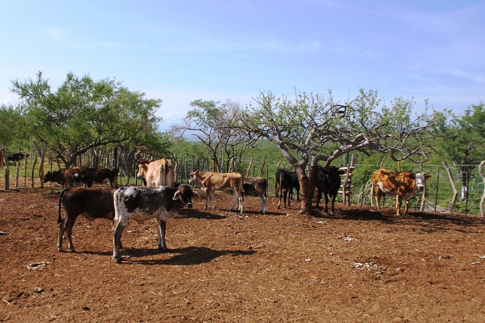 ganado-criollo-introduccion-sierra-cacachilas-baja-california-sur