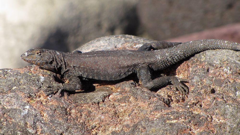 reptiles-amphibians-sdnhm-sierra-cacachilas