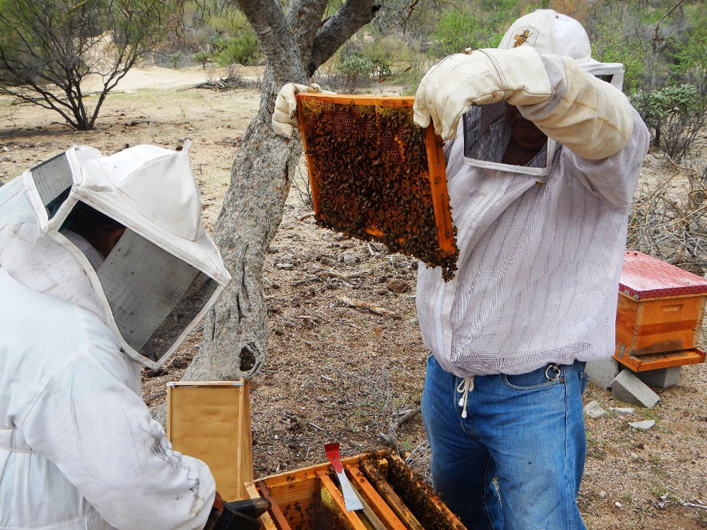 Cuidando la población de abejas de Rancho Cacachilas, B.C.S.