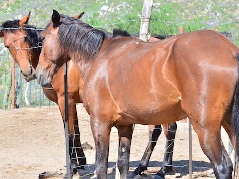 Ranch Livestock — Baja Peninsula