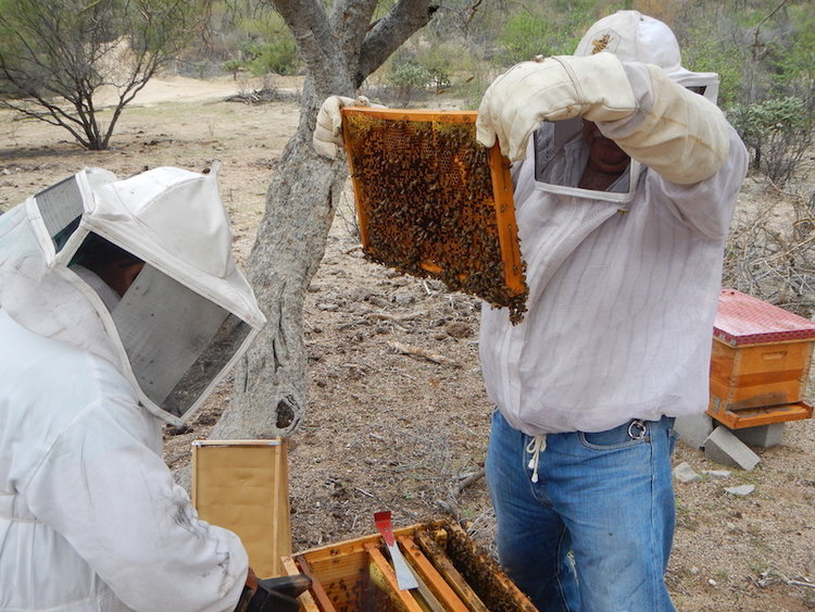honey-production-bcs-mexico