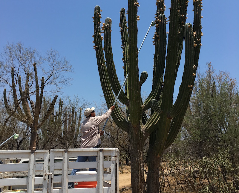 cardon-cactus-fruit-harvesting