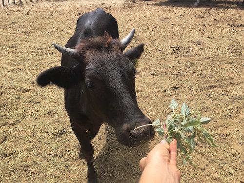 Vacas — Ecoturismo