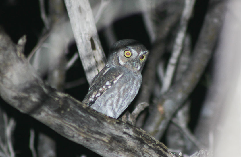 owl-micrathene-whitneyi.jpg
